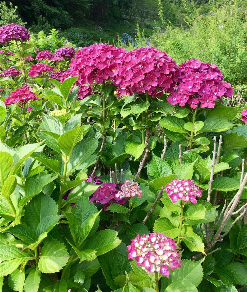 挿木 紫陽花
